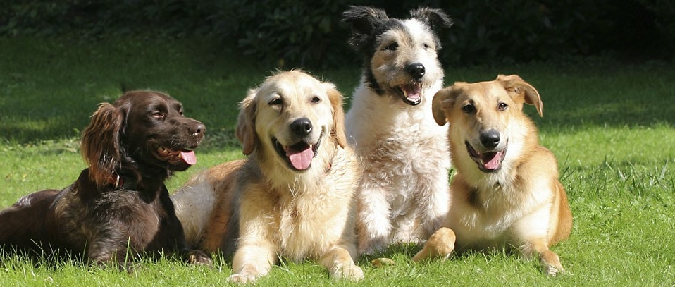 Four dogs on the grass