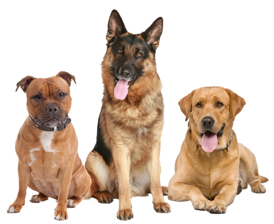 Three alert dogs